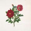 Rosa centifolia = Double velvet rose.