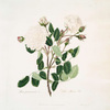 White provincialis = White provence rose.