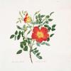 Rosa lutea-bicolor = Austrian rose.