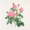 Rosa gallica = Royal virgin rose.