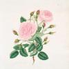 Rosa provincialisa