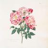 Rosa gallica-versicolor = Rosa mundi.