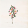 Rosa spinosissima = Striped flowered Scotch rose. [Burnet rose]