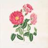 Rosa gallica = Red officinal rose.