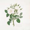 Rosa damascena = White monthly rose.