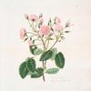 Rosa provincialis = Blandford or Portugal rose.