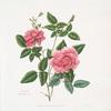 Rosa indica = Blush China rose.