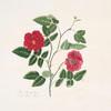 Rosa semperflorens = Dark China rose. [Ever-blowing Rose, China Rose, Bengal Rose]
