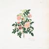 Rosa alpina = Alpine rose.