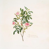 Rosa cinnamomea = Double cinnamon rose. [Rosa majalis]
