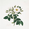 Rosa alba = Single white rose.