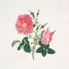 Rosa damascena = Red damask rose.
