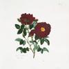 Rosa centifolia = Pluto rose.