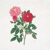 Rosa centifolia = Stepney rose.