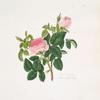 Rosa centifolia = Blush royal rose.