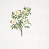 Rosa spinosissima = Common Scotch rose.