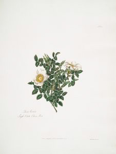 Rosa luceda = Single white China rose.