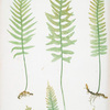 Polypodium vulgare (A,B,C,D), P. vulgare acutum (E), P. vulgare hifidum (F). [The common polypody]