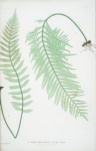 A. Polypodium vulgare semilacerum. B. P. vulgare serratum. [The common polypody]