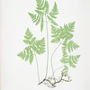 Polypodium Dryopteris. [The smooth three-branched polypody, or Oak fern]