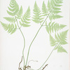 Polypodium Robertianum. [The limestone polypod]