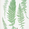 Polypodium alpestre. [The Alpine polypody]