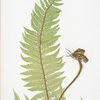 A. Polystichum aculeatum. B. P. aculeatum argutum. C. P. aculeatum alatum. [The common prickly shield fern]