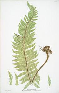 A. Polystichum aculeatum. B. P. aculeatum argutum. C. P. aculeatum alatum. [The common prickly shield fern]