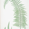 A. Polystichum angulare subtripinnatum. B. P. angulare tripinnatum. C. P. angulare proliferum. [The soft prickly shield fern]