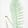 Lastrea Filix-mas incisa. [The male fern, or Common buckler fern]
