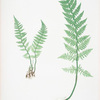 Lastrea rigida. [The rigid buckler fern]