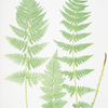 Lastrea cristata uliginosa. [The crested buckler fern]