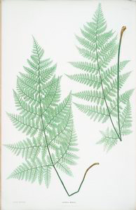 Lastrea dilatata. [The broad prickly-toothed buckler fern]