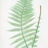 Lastrea Oreopteris. [The mountain buckler fern]