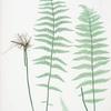 Lastrea Thelypteris. [The marsh, or Female buckler fern]