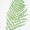 Athyrium Filix-foemina. [The lady fern]