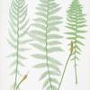 A. Athyrium Filix-foemina rhæticum. B. A. Filix-foemina latifolium. C. A. Filix-foemina marinum. [The lady fern]