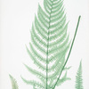 Athyrium Filix-foemina ovatum. [The lady fern]