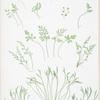 A. Asplenium Ruta-muraria. B. A. germanicum. C. A. septentrionale. [The wall rue, or spleenwort - The alternate-leaved spleenwort - The forked spleenwort]