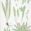 A. Ceterach officinarum. B. Gymnogramma leptophylla. C. Blechnum spicant. [The scale fern, or Scaly spleenwort -The msall-leaved gymnogram - The common hard fern]