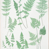 A. Cystopteris fragilis. B. C. regia. C. C. montana. [The brittle bladder fern - The Alpine, or Royal bladder fern - The mountain bladder fern]