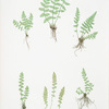A. Woodsia ilvensis. B. W. alpina. [The oblong woodsia - The Alpine, or Deltoid woodsia]
