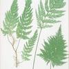 Trichomanes radicans. [The European bristle fern]