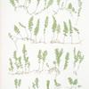 A. Hymenophyllum tunbridgense. B. H. unilaterale. [ The tunbridge film fern]