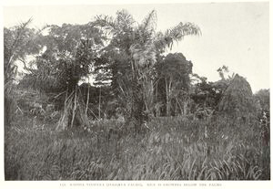Raphia Vinifera (Plassava palms), Rice is growing below the palms.