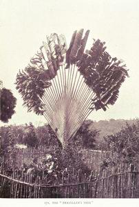 "The "" Traveller's Tree."""