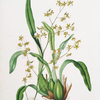 Oncidium leucochilum. [White-lipped oncidium]