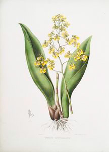 Onicidium cavendishianum.[The Duke of Devonshire's oncidium]