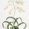 Epidendrum aromaticum.