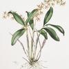 Epidendrum stamfordia.